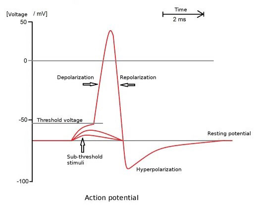 EMG Action potential