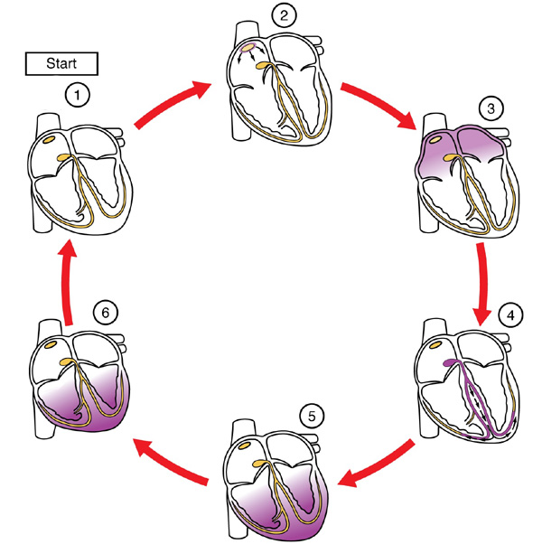 Conduction of the heart